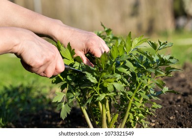 Woman hand cutting fresh lovage (levisticum) on her huge garden
