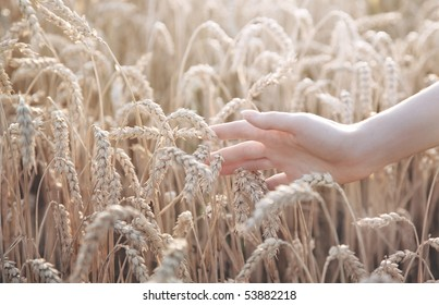 Woman hand with ear of wheat. White colors.