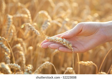 Woman hand with eer of wheat. Soft light.