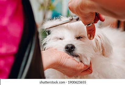 woman hand Grooming Maltese dog