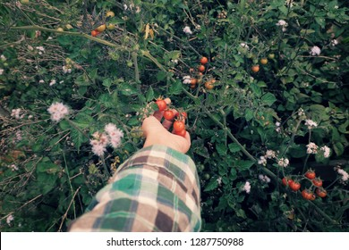 Woman hand harvesting wild cherry tomato grow in grassland, photo in cyan color from top view, red ripe tomatoes, fresh fruit bunch on green in nature at Da lat, Viet Nam on day