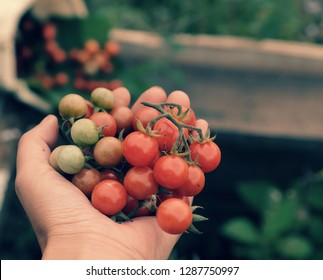 Woman hand harvesting wild cherry tomato grow in garden, close up shot of red ripe tomatoes in hand, fresh fruit bunch on green blur background in nature at Da lat, Viet Nam on day