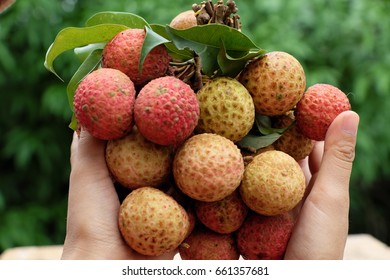 Woman hand hold bunch of litchi fruit or lychee fruits, a tropical agriculture product of Bac Giang, also called Vai thieu at Vietnam