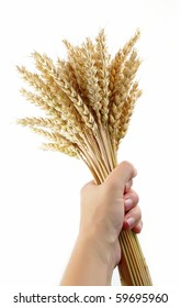 woman hand hold wheat ears isolated on the white background