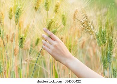 Woman hand holding barley