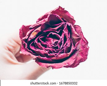 Woman hand holding dried red rose flower isolate on white background. Traditional symbol of a broken heart and lost love. Memory, deathy, loss concept. Life anf dead. Soft focus. Close up
