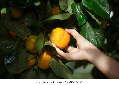 woman hand holding ripe persimmons fruit on the tree