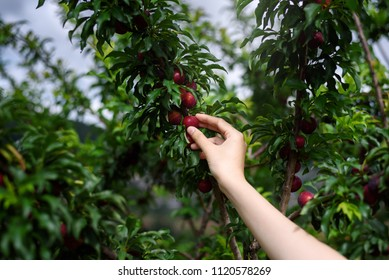 woman hand holding ripe red plums fruit from  tree branch in the orchard