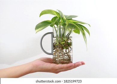 Woman hand holding a water propagation house plant, urban Jungle, repotting or potting houseplants