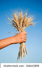 Woman hand holding wheat spikes against blue sky. Harvest