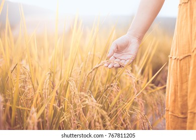 Woman hand holding young rice with tenderness in the paddy field in vintage color tone