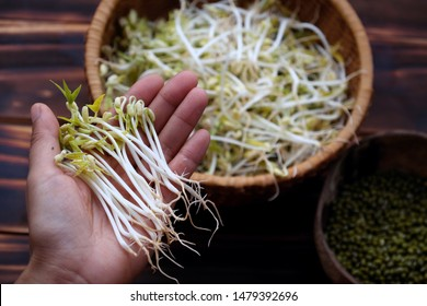 Woman hand with homemade bean sprouts for food safety, germinate of green beans make nutrition vegetable cuisine, close up of sprout with basket on wooden background