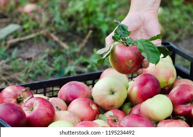 Woman hand packed harvested apples to the chest - European apple harvest scene from the garden