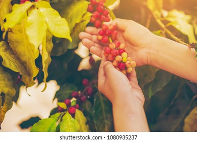 woman hand pick coffee seeds from coffee tree
