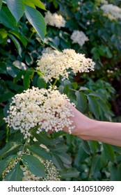Woman Hand Picked Elderflower Cordial in spring Garden