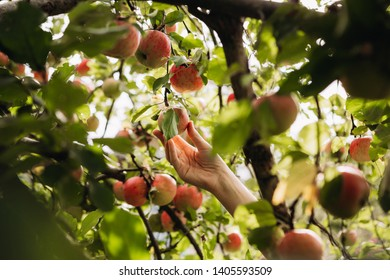 woman hand picking an apple