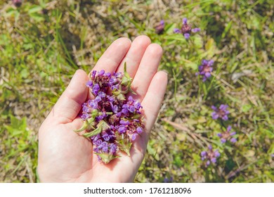 Woman hand picking holding Prunella vulgaris, common self-heal, heal-all, woundwort, heart-of-the-earth, carpenter's herb, fresh plant blossoms for herbal remedy.