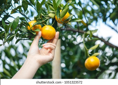 woman hand picking an ripe orange on tree