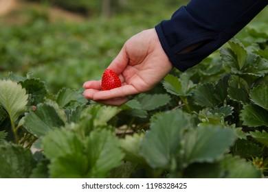 Woman hand picking strawberry at bio farm. Fruit picking at bio farm concept.