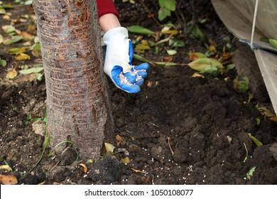 Woman hand in a rubber glove fertilizing a cherry tree with granular autumn fertilizer in the autumn garden