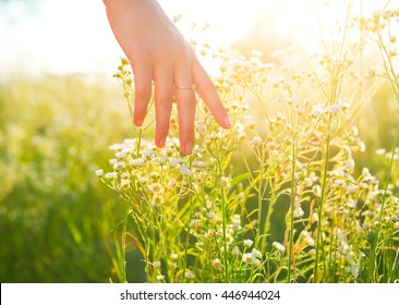 Woman hand running through meadow field with wilde flowers. Girl's hand touching Chamomilles closeup. Health care concept. Chamomile field. Camomille Hand Skin care treatment