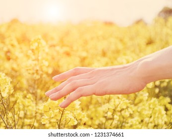 Woman hand sliding on yellow flowers at meadow in sunny day