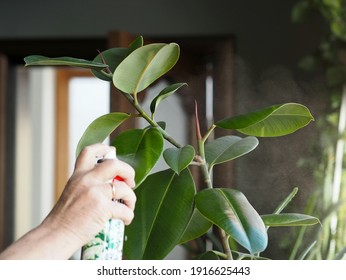 Woman hand sprays shine from a spray bottle to care for leaves of domestic plants. Rubber plant elastic ficus. Flower and plant growing.