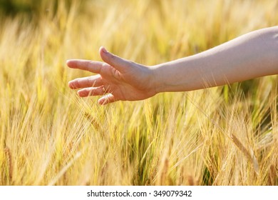 Woman hand touches wheat ears. Wheat field. Shallow depth of field. Selective focus.