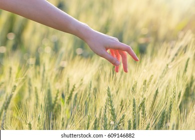 Woman hand touching barley at sunset time