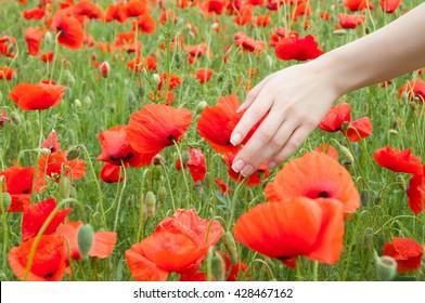 Woman hand touching poppy flowers