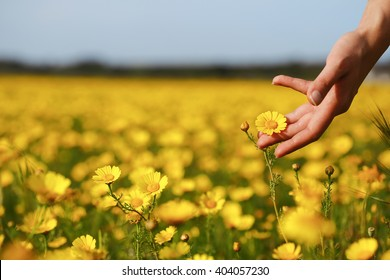 Woman hand touching yellow flowers in Cyprus.