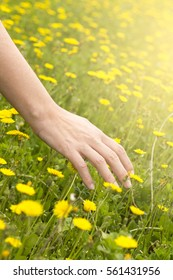 Woman hand touching yellow flowers in summer
