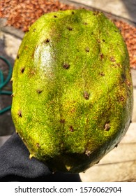 A woman handing a Annona muricata. Soursop fruit (Sugar Apple, Prickly Custard Apple ). A picture of soursop fruit before been cut and eat. Healthy food for medicine