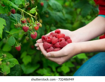 Woman hands with big red raspberries on background branch of raspberry
