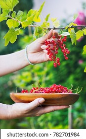 Woman hands collects ripe red currant into a wooden bowl. Summer harvest of small fruit in a garden.