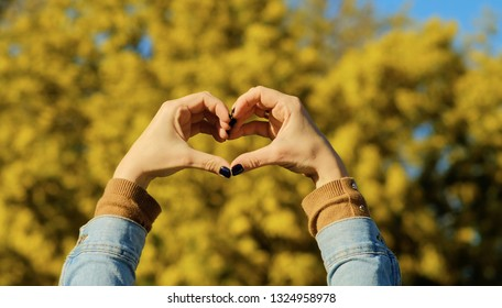Woman hands in heart shape against mimosa tree with flowers on blue sky and sunny day