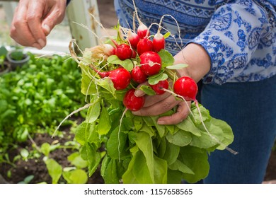 woman hands holding a bunch of radishes