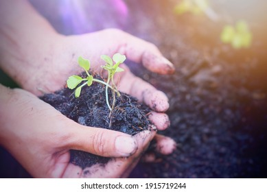 Woman hands holding and caring a young green vegetables  with soft light background , Seeding growing from abundant soil,Concept for organic vegetables, growing a vegetables,world Environment.