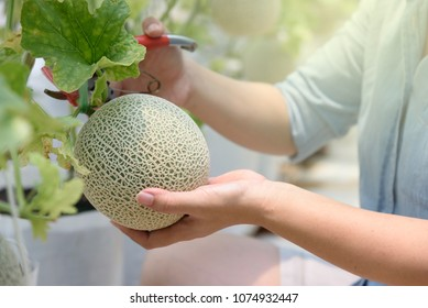 Woman hands holding fresh melons or green melons or cantaloupe melons plants growing in greenhouse supported by string melon nets.