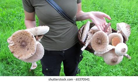 Woman hands holding many parasol mushrooms