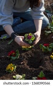 Woman hands plant the primrose