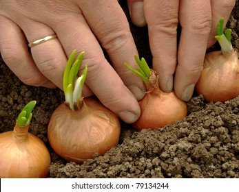 woman hands planting bulbs for green onions