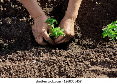 Woman hands planting tomato seedlings sprouts in the soil. Growing young tomatoes