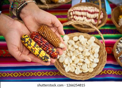 Woman hands showing the different kinds of Peruvian corn at an agricultural fair, Sacred Valley of the Incas. Urubamba Peru.