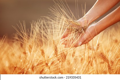 Woman hands touching golden wheat field, happy farmer enjoying great harvest, agricultural industry, autumn season concept