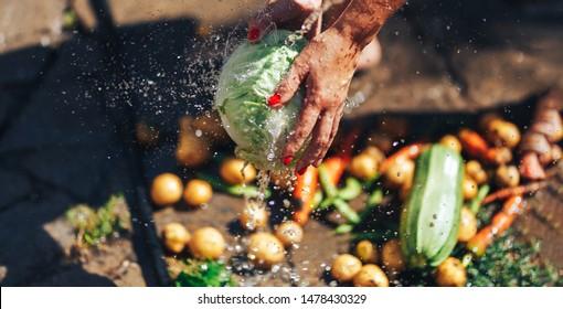 woman hands washing cabbage outdoor, summertime sunshine, fresh vegetales.