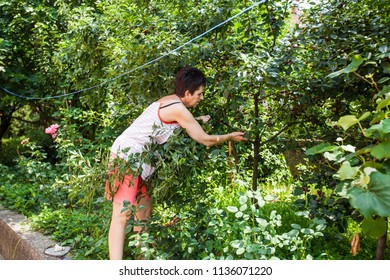 Woman harvest cherry fruit at orchard, summer activity in garden