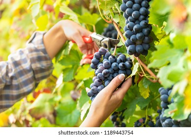Woman harvesting bunches of ripe black grapes on an autumn vibe in a winery vineyard in a close up view of her hands