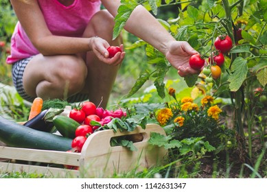 Woman harvesting fresh tomatoes in her organic garden. Homegrown produce of vegetables. Gardener picking up ripe tomato. Wooden crate full of vegetables