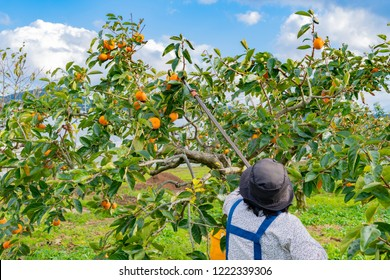 A woman harvesting persimmon